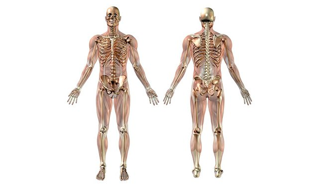 Anatomy and Physiology course - Image of Skeletal System