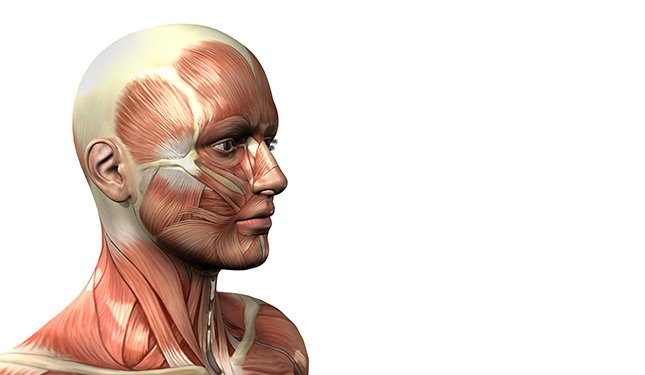Anatomy and Physiology course - Image of Muscles of the Head
